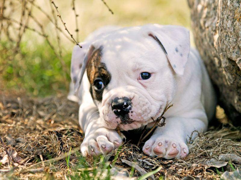 Amerikanische Bulldogge — Bild: Shutterstock / Little Moon