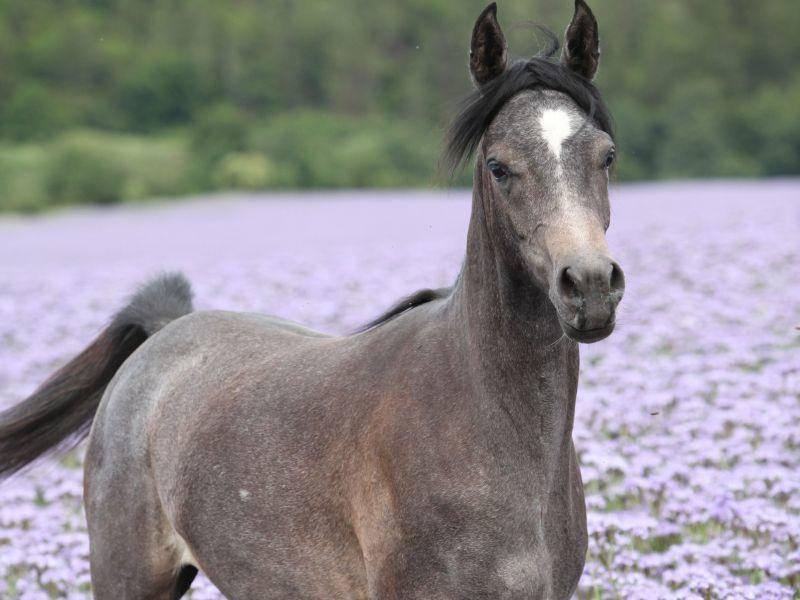 Araber Pferd Kopf