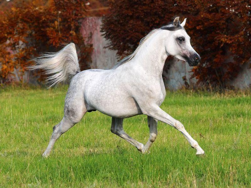 Araber sind nicht nur elegant, sondern auch außerordentlich schnell und ausdauernd — Bild: Shutterstock / Makarova Viktoria