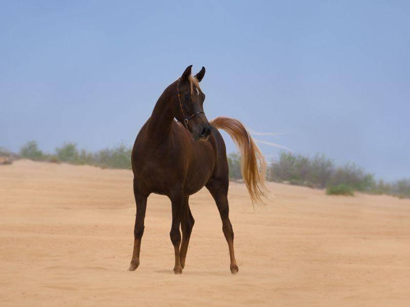 Der Araber: Ein wunderschönes Wüstenpferd — Bild: Shutterstock / smeola