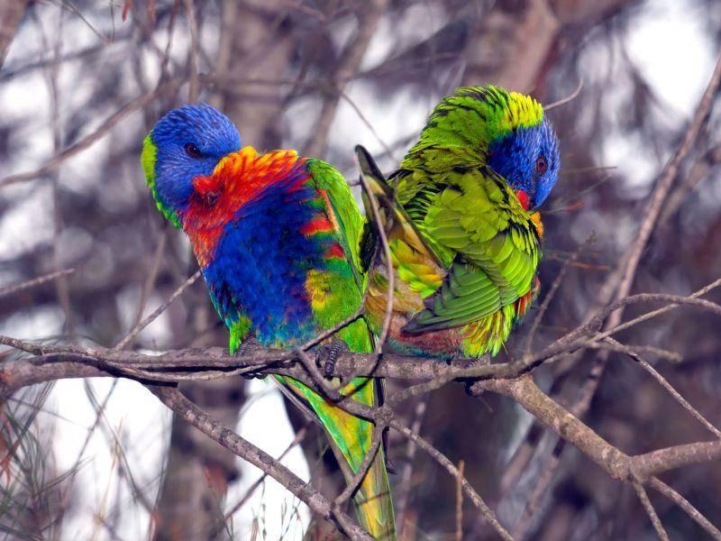 Wow, was für Farben: Dieses Vogelpaar ist wohl das bunteste von allen — Bild: Shutterstock / Peter Waters