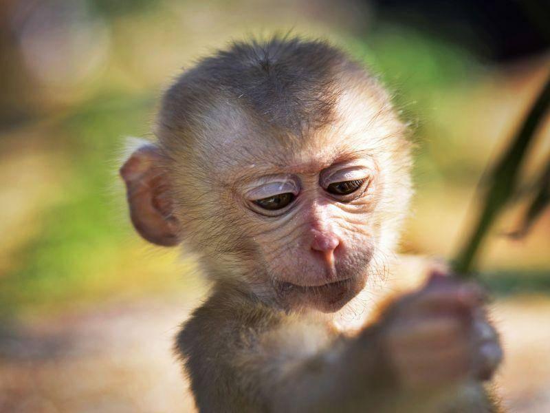 Niedlich: Schwer beschäftigter Babyaffe — Bild: Shutterstock / JJ-Whic