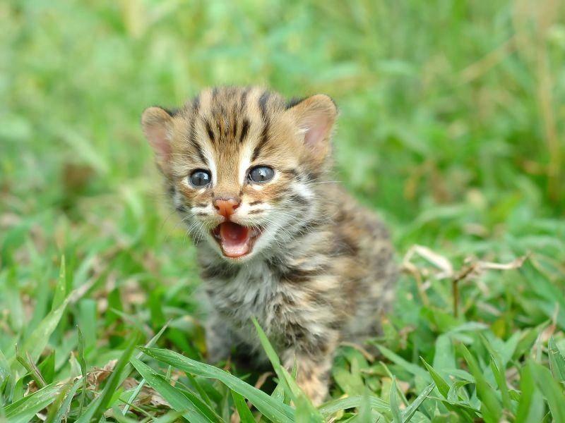 So klein und schon so frech: Ein Leopardenbaby — Bild: Shutterstock / Anan Kaewkhammul