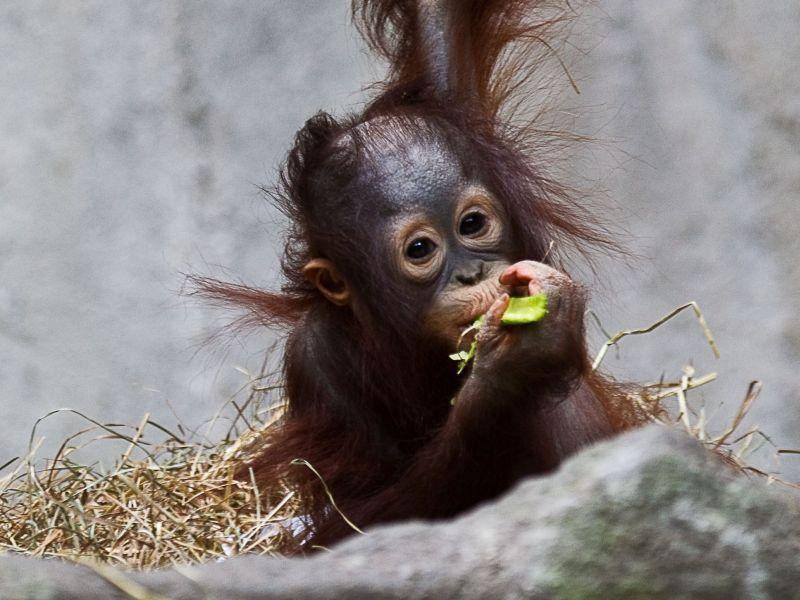 Die Welt ist noch so neu für Babyaffen wie diesen Orang Utan — Bild: Shutterstock / TRyburn