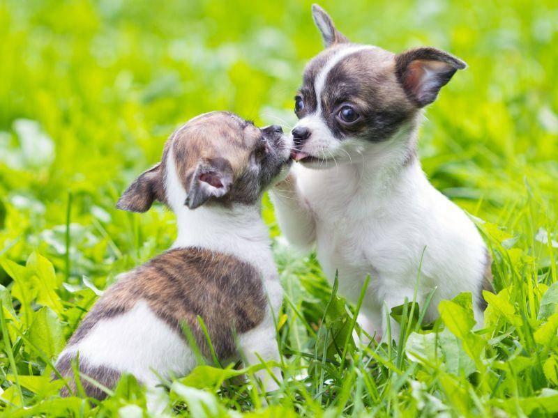 ... weil Hundegeschwister im Taschenformat zum Knuddeln sind — Bild: Shutterstock / Sergey Lavrentev