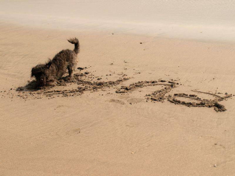 Am Strand sorgen Dackel für jede Menge Spaß und Unterhaltung — Bild: Shutterstock / bruno ismael da silva alves