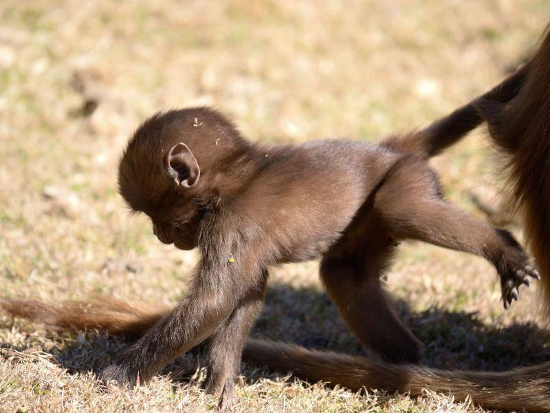 Babyaffen-Spaziergang: Aber nicht zu weit weg gehen! — Bild: Shutterstock / fbxx