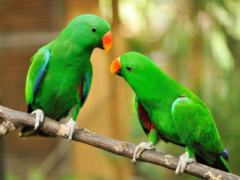 Ein schönes Vogelpaar: Grüne Edelpapageien — Bild: Shutterstock / haveseen
