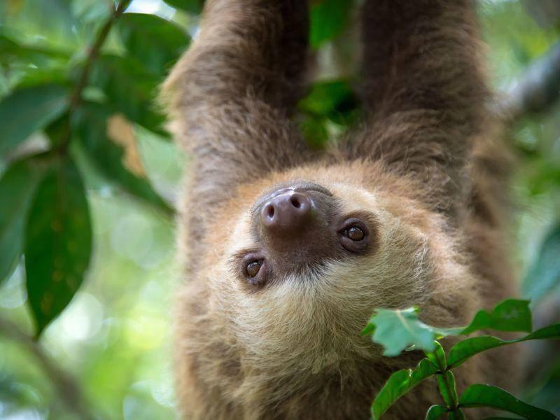 Rumhängen am Baum: Das machen Faultiere am liebsten — Bild: Shutterstock / Daniel Korzeniewski