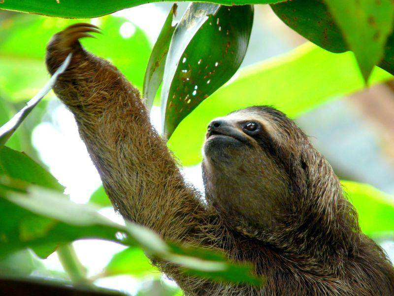 Ein Faultier pflückt sich Blätter, aber gaaanz langsam! — Bild: Shutterstock / Nacho Such