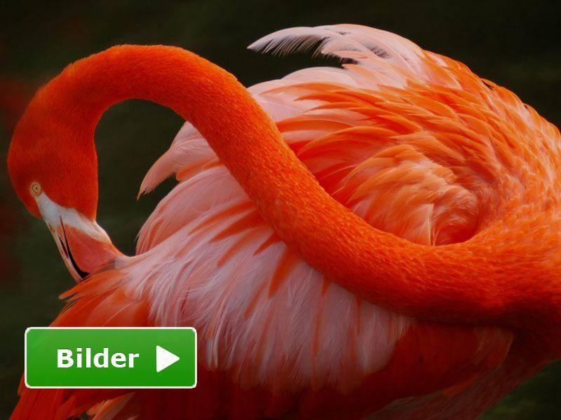 Das Gefieder des Flamingos ist außergewöhnlich schön — Bild: Shutterstock / Ruimin Wang