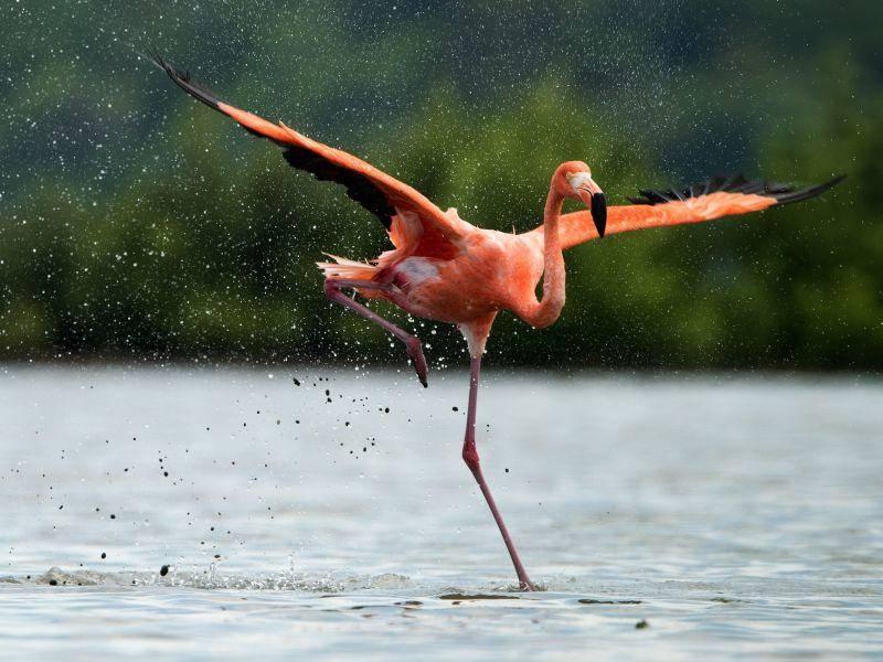Im Flug erreichen Flamingos Geschwindigkeiten von 50 bis 60 km/h — Bild: Shutterstock / Sergey Uryadnikov