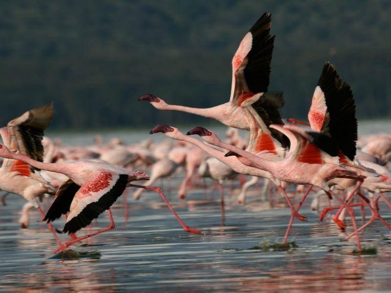 Und Abflug! Eine Flamingo-Gruppe wechselt den Ort — Bild: Shutterstock / Steffen Foerster