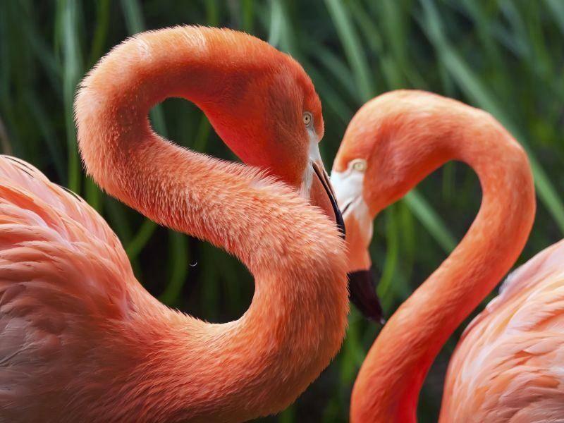 Flamingo-Pärchen: Ein Herz und eine Seele — Bild: Shutterstock / Bill Kennedy