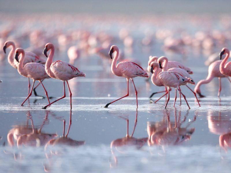 Im Gänsemarsch: Schöne Flamingos im Wasser— Bild: Shutterstock / prasit chansareekorn