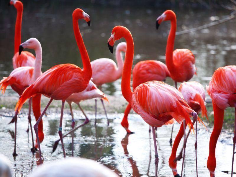 Schönes Flamingo-Grüppchen: Am häufigsten sieht man die Vögel im Wasser — Bild: Shutterstock / Yellowj