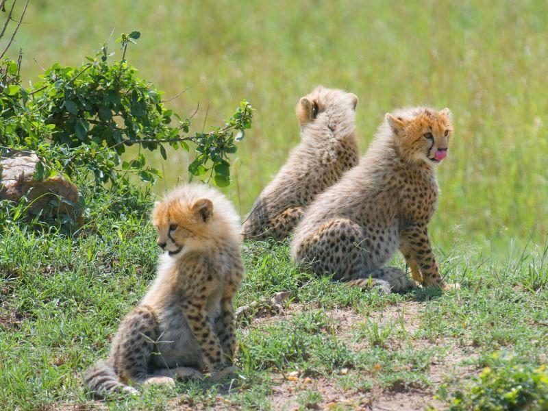 Auf der Lauer: Drei junge Geparden — Bild: Shutterstock / mlorenz