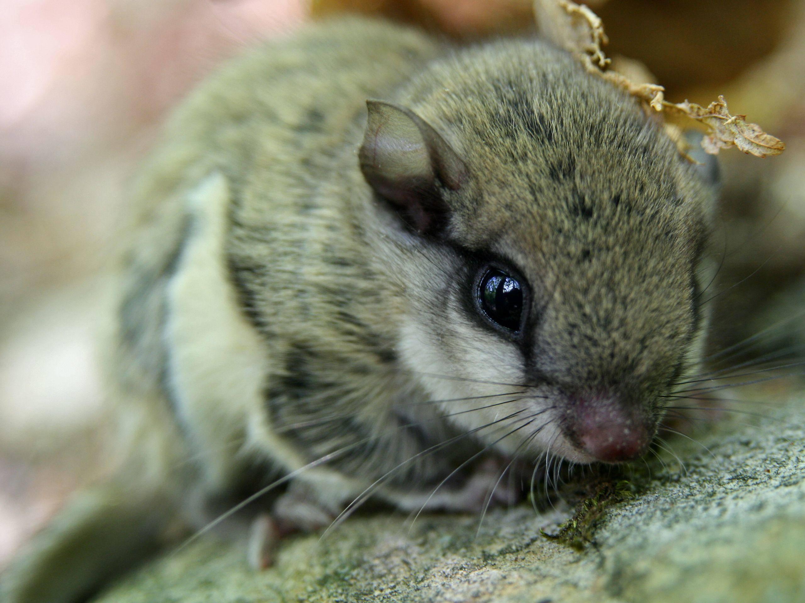 Einfach nur süß: Europäisches Gleithörnchen— Bild: Shutterstock / Ryan M. Bolton