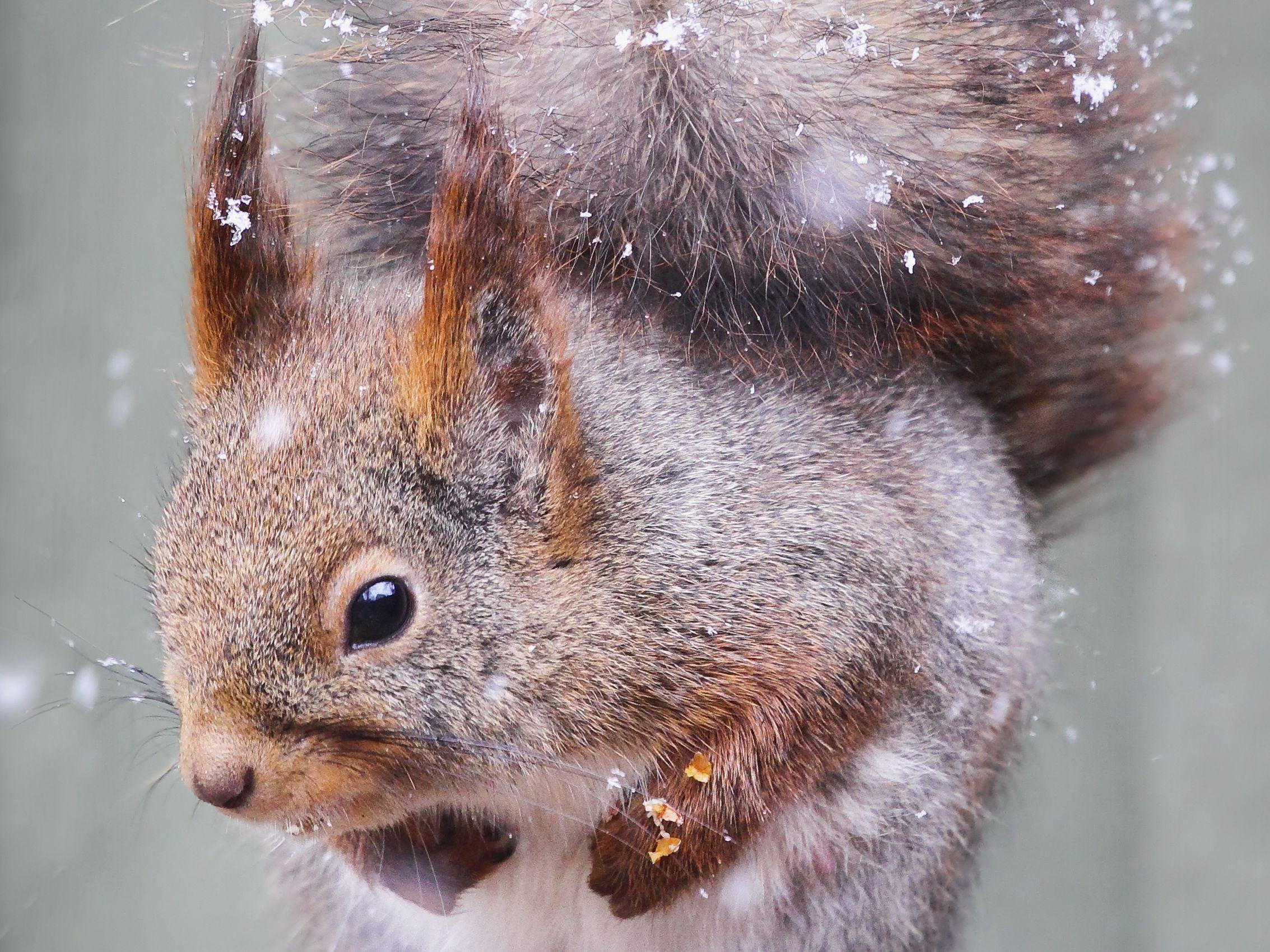 Was ist denn da unten los? Eichhörnchen bei einem Winterausflug — Bild: Shutterstock / Anette Holmberg
