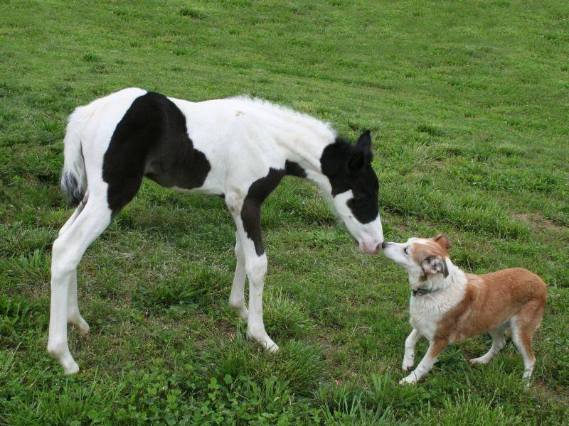 Hund und Fohlen: Niedliche erste Begegnung — Bild: Shutterstock / 8045159901