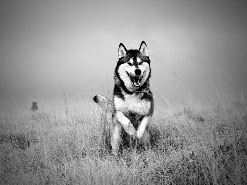 Schwarz-Weiß-Bild eines rennenden Huskys — Bild: Shutterstock / mike taylor