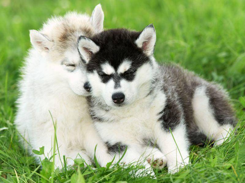 ... weil Hundegeschwister so schön weich und kuschelig sind — Bild: Shutterstock / Dmitry Kalinovsky
