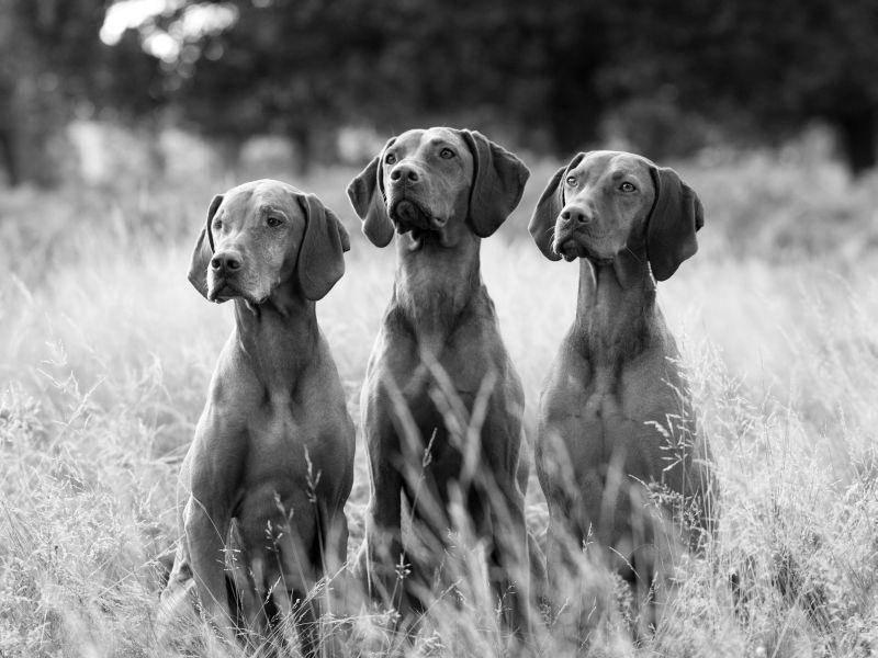 Jagdhunde-Schwarzweiss