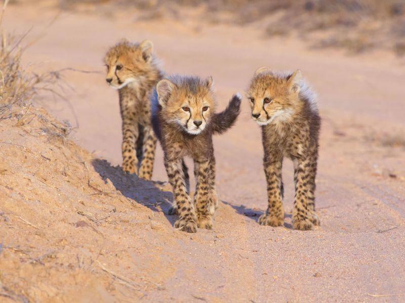 Kleiner Raubkatzenspaziergang unter Gepardengeschwistern — Bild: Shutterstock / Hedrus