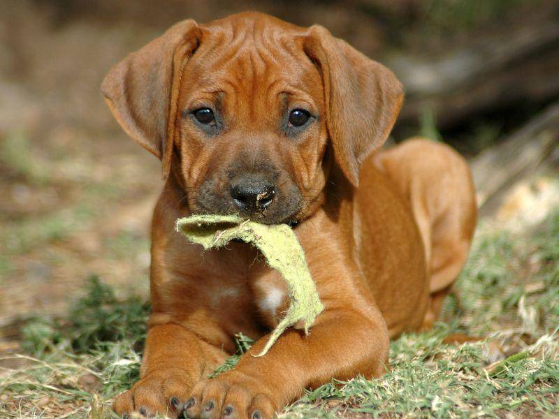 Wer könnte dem Hundeblick eines jungen Rhodesian Ridgeback Hunds wiederstehen? — Bild: Shutterstock / Anke van Wyk