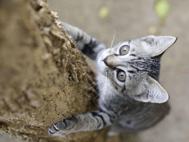 """Kletterndes Katzenbaby: """"Mal gucken, was da oben ist!"""" — Bild: Shutterstock / Sanmongkhol"""