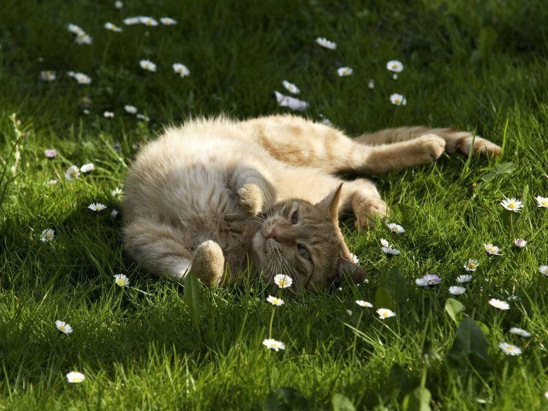 Ein Paradies für Katzen: Gemütlicher Sonnenplatz auf der Gänseblümchenwiese — Bild: Shutterstock / Kurt Tutschek