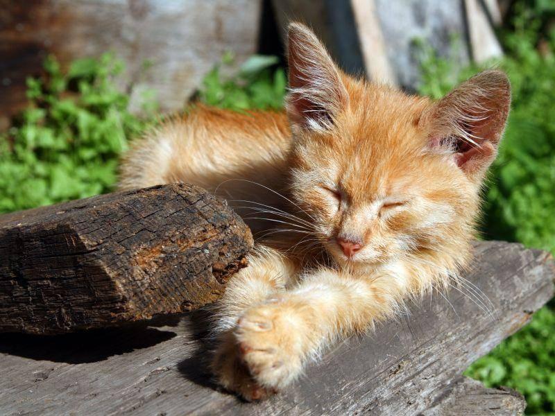 Beliebt bei Katzen: Ein Schläfchen in der Sonne — Bild: Shutterstock / Kokhanchikov
