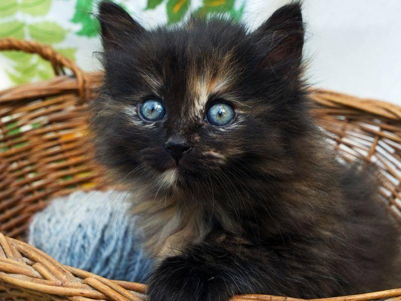 Im Körbchen eingepackt zum Mitnehmen: Schwarzes Katzenbaby — Bild: Shutterstock / LacoKozyna