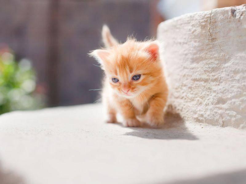 Niedlich: Rote Babykatze macht ihren ersten Sonnenspaziergang — Bild: Shutterstock / YuliaPodlesnova