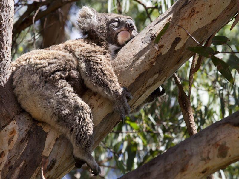 Klettert für ein Sonnenbad hoch hinaus: Der Koala — Bild: Shutterstock / Nataiki