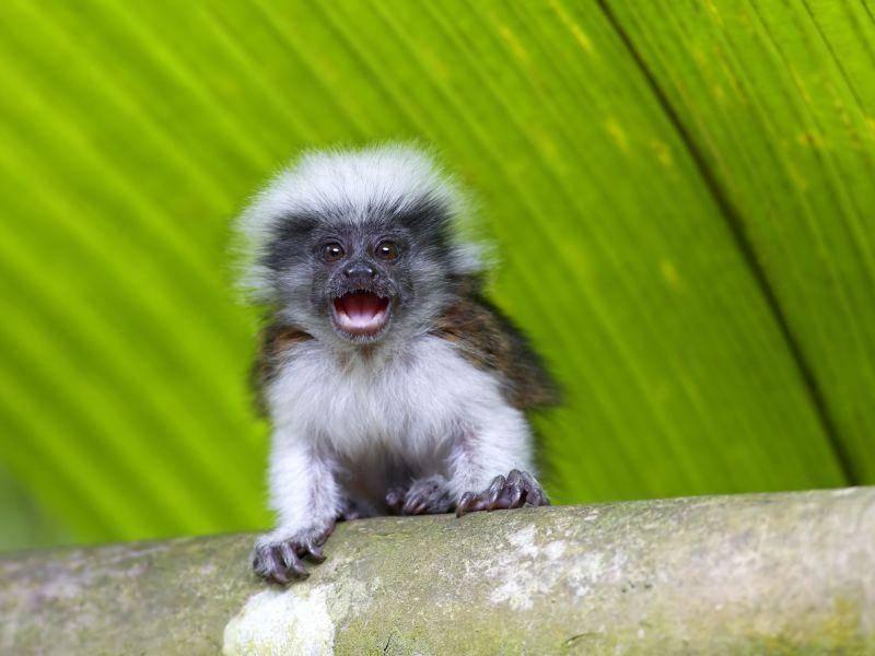 Manche Babyaffen kommen schon frech auf die Welt, wie dieser Lisztaffe — Bild: Shutterstock / Kjersti Joergensen