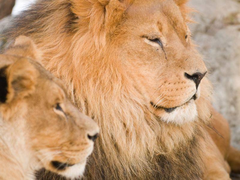 Mit der Löwenfamilie in der Sonne liegen? So sieht ein perfekter Tag aus — Bild: Shutterstock / BGSmith
