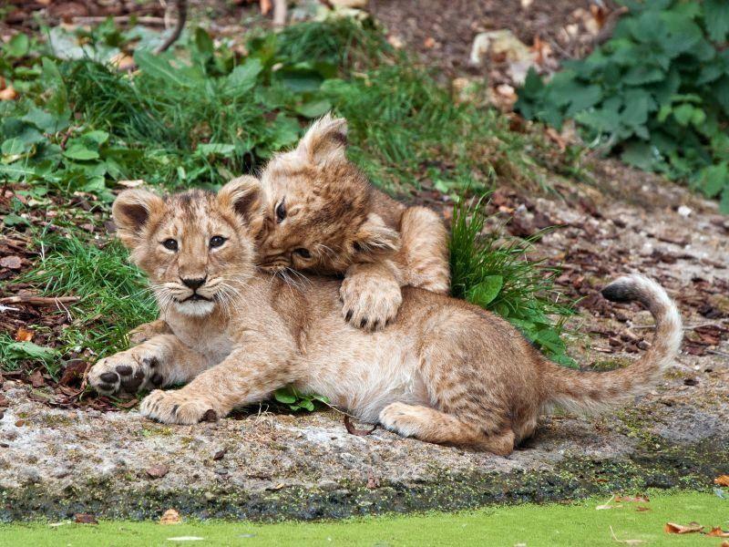 Im Doppelpack besonders süß: Zwei Löwenbabys — Bild: Shutterstock / dean bertoncelj