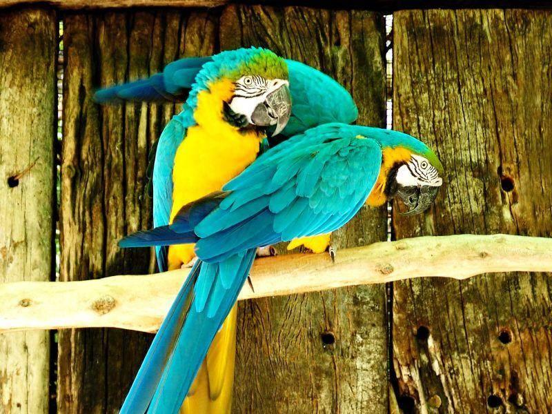 Faszinierende Aras: Ein leuchtendes Vogelpaar — Bild: Shutterstock / Lucian Coman