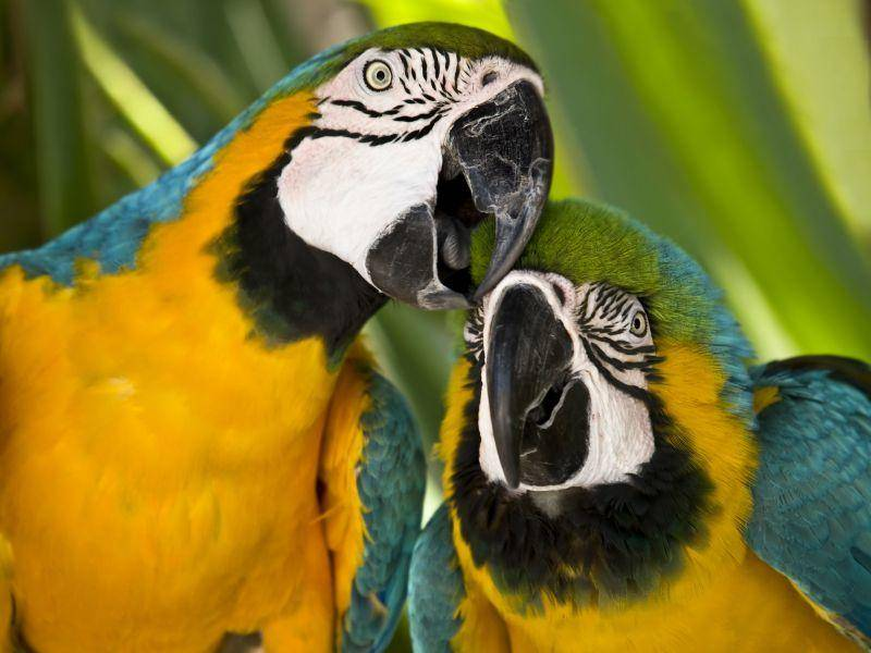 Schön bunt und groß: Ein Ara-Vogelpaar in seinen besten Jahren — Bild: Shutterstock / Juan Vte. Muñoz
