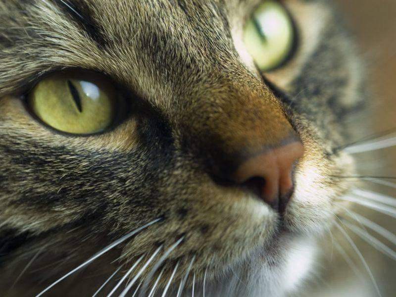 Eindeutig: Die Maine Coon ist nicht nur von Weitem eine schöne Katze — Bild: Shutterstock / Vlue