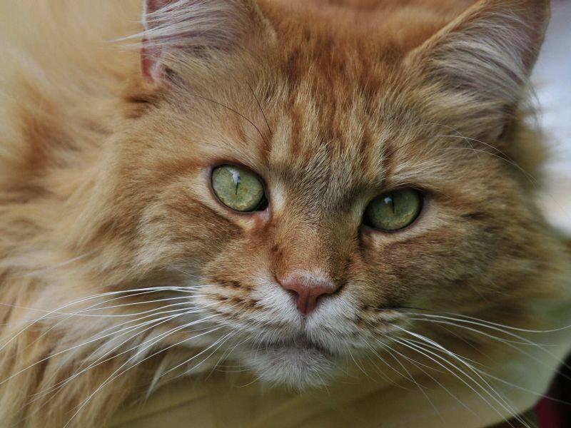 Die Augen der Maine Coon sind leuchtend und ausdrucksvoll — Bild: (CC) Flickr / Sonja Pauen