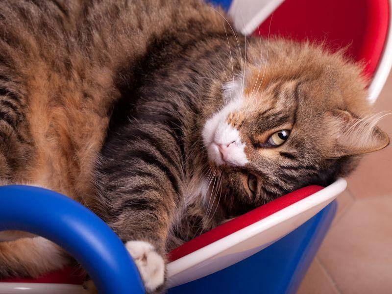 Kann man dem Blick einer Maine Coon Katze wiederstehen? Eigentlich nicht! — Bild: Shutterstock / eZeePics Studio