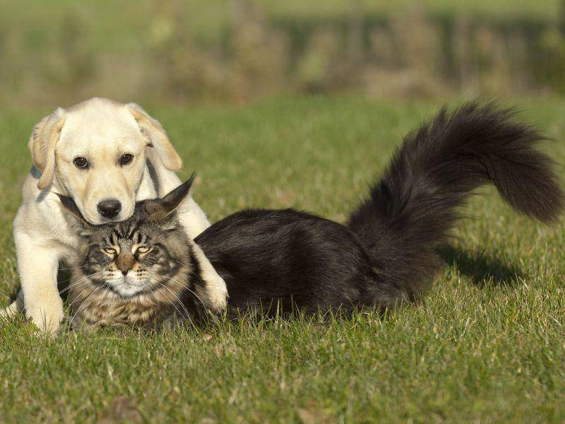Die Maine Coon ist eine freundliche Katze, die sich oft auch gut mit Hunden versteht — Bild: Shutterstock / Okeanas