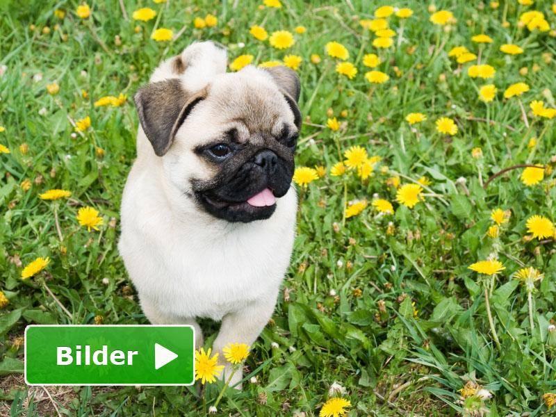 Mops in der Blumenwiese: Immer für einen schönen Hundespaziergang zu haben — Bild: Shutterstock / Igumnova Irina