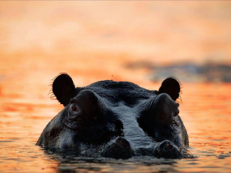 Und Nilpferde nehmen gern mal ein Bad in der Abendsonne — Bild: Shutterstock / Sergey Uryadnikov