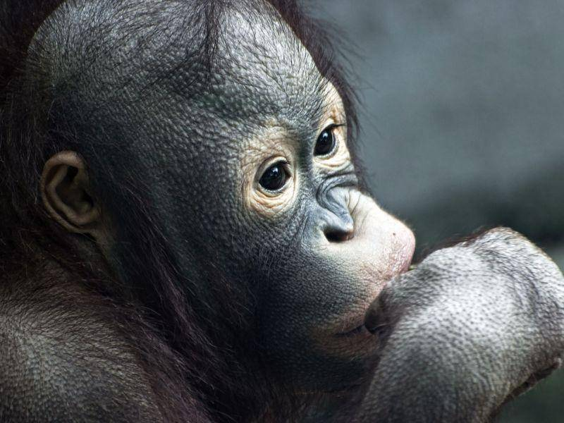 Orang-Utan-Babyaffe: So klein und schon so nachdenklich — Bild: Shutterstock / PeterVrabel