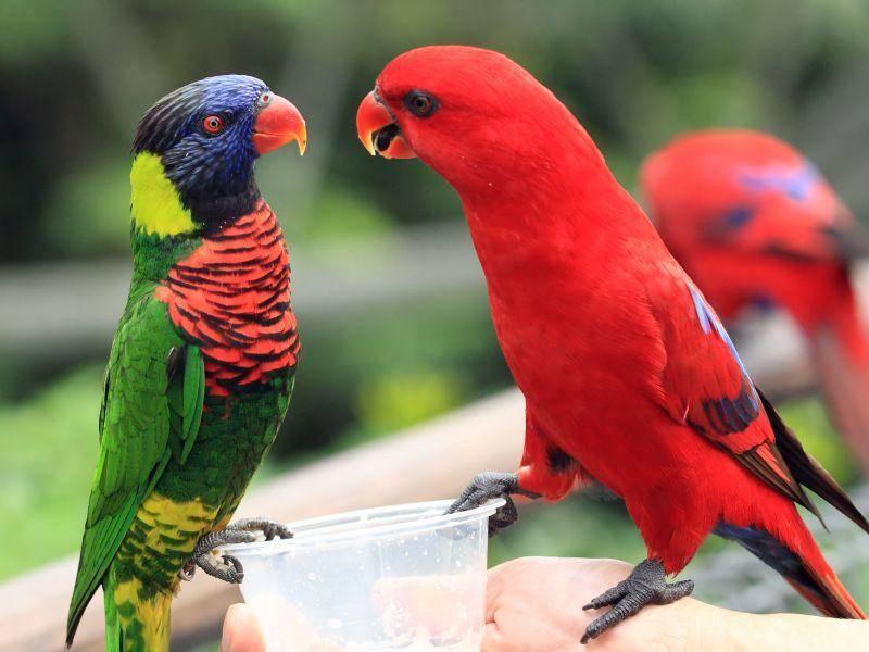 """Farbenfrohes Vogelpaar: """"Ich bin bunter!"""" """"Nein, ich!"""" — Bild: Shutterstock / Manamana"""