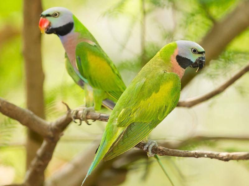 Einfach nur schön, dieses grüne Vogelpaar — Bild: Shutterstock / kajornyot