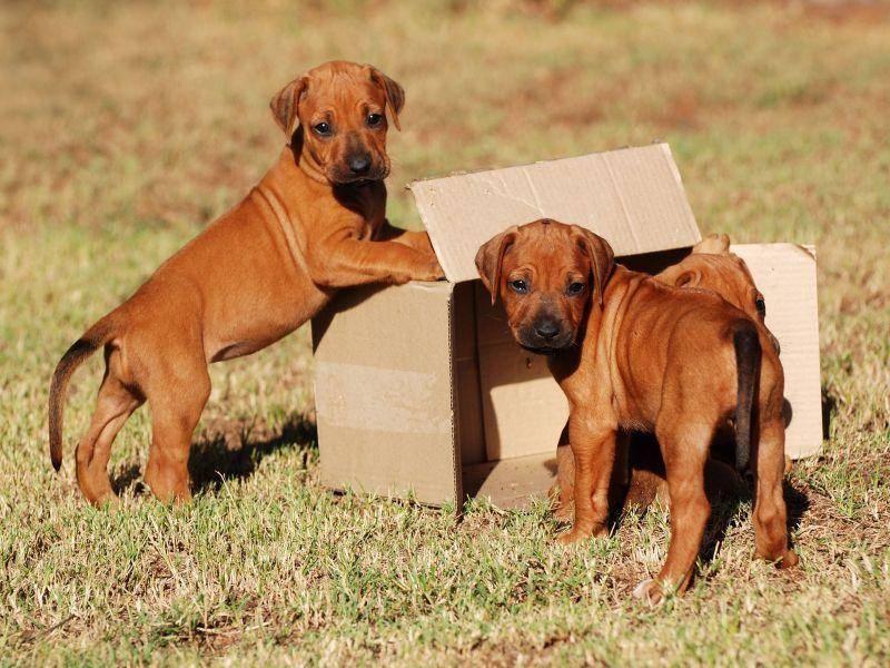 Zwei süße Rhodesian Ridgeback Welpen: Karton zum einpacken und mitnehmen? — Bild: Shutterstock / Anke van Wyk